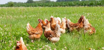 Freilaufende Hühner im Gras 001