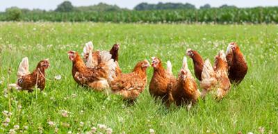 Freilaufende Hühner im Gras 003
