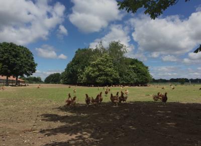 Hühner im Freilandgehege