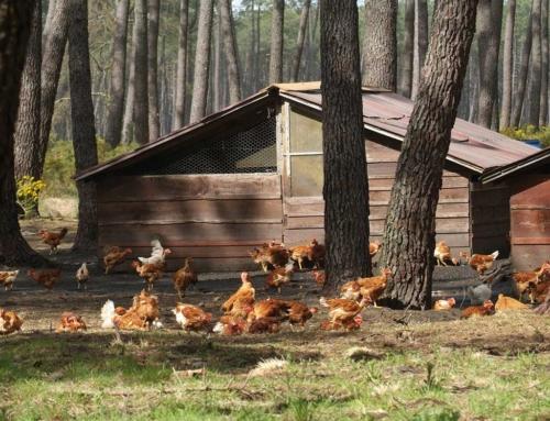 Französisches Freiland-Geflügel ein Geheimtipp für Genießer